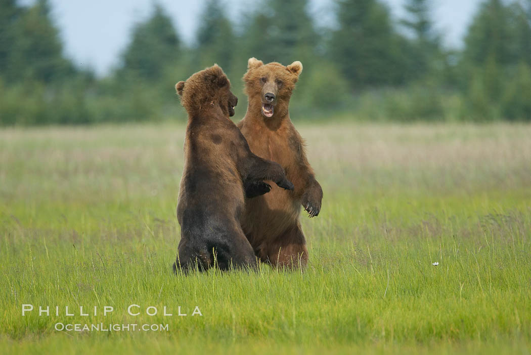 Brown bears fighting or sparring.  These are likely young but sexually mature males that are simply mock fighting for practice. Lake Clark National Park, Alaska, USA, Ursus arctos, natural history stock photograph, photo id 19148