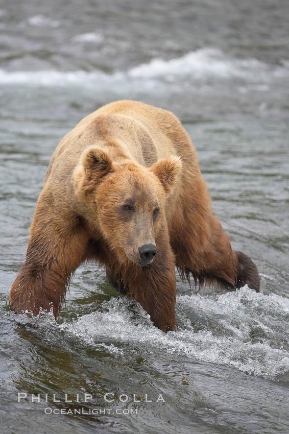 Brown bear (grizzly bear). Brooks River, Katmai National Park, Alaska, USA, Ursus arctos, natural history stock photograph, photo id 17181