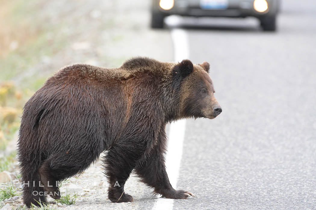 Grizzly bear crosses a road in front of a car.  Dozens of coyotes, wolves, bears, elk and bison are killed each year in Yellowstone as they attempt to cross the roads in front of drivers who are not paying attention or speeding. Lamar Valley, Yellowstone National Park, Wyoming, USA, Ursus arctos horribilis, natural history stock photograph, photo id 19620