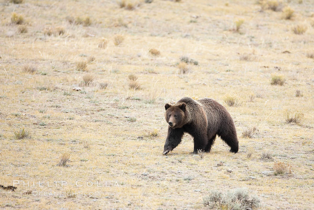 Image 19617, Grizzly bear, autumn, fall, brown grasses. Lamar Valley, Yellowstone National Park, Wyoming, USA, Ursus arctos horribilis, Phillip Colla, all rights reserved worldwide. Keywords: animal, arctos, autumn, bear, brown bear, caniformia, carnivora, carnivore, fall, griz, grizzly, grizzly bear, lamar valley, mammal, national parks, predator, ursidae, ursus, ursus arctos, ursus arctos horribilis, usa, world heritage sites, wyoming, yellowstone, yellowstone grizzly, yellowstone grizzly bear, yellowstone national park.