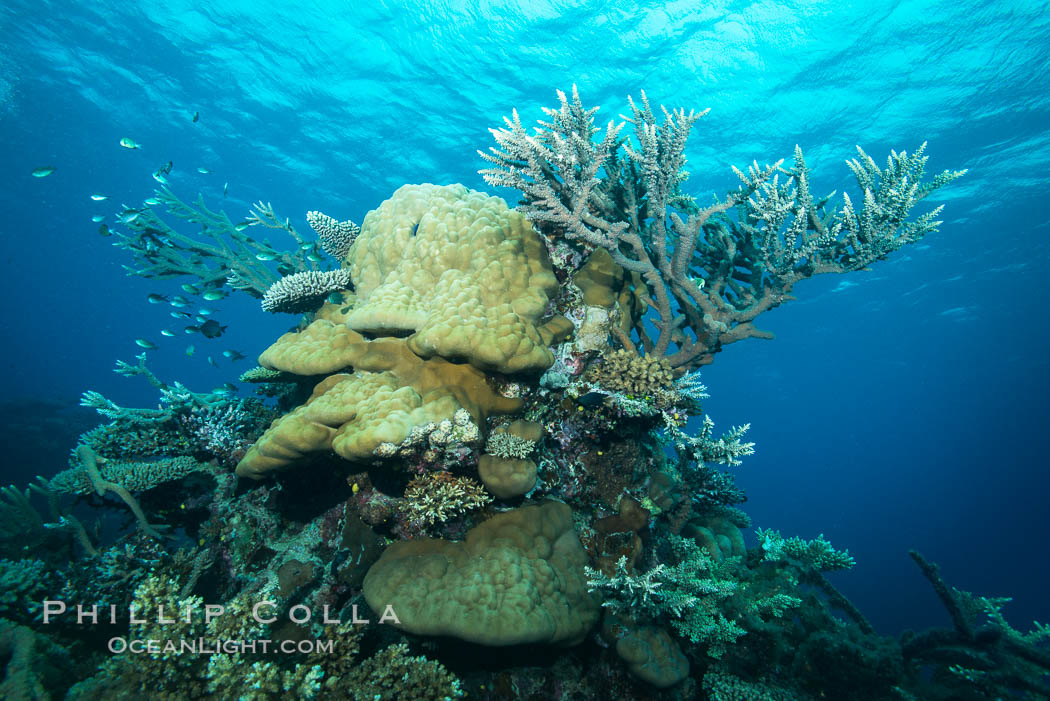 Various hard corals on pristine Fijian coral reef. Vatu I Ra Passage, Bligh Waters, Viti Levu  Island, Fiji, natural history stock photograph, photo id 31375