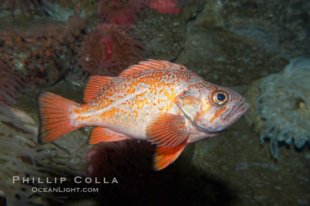 Vermillion rockfish., Sebastes miniatus, natural history stock photograph, photo id 11866