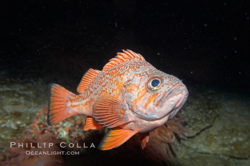 Vermillion rockfish., Sebastes miniatus, natural history stock photograph, photo id 11860