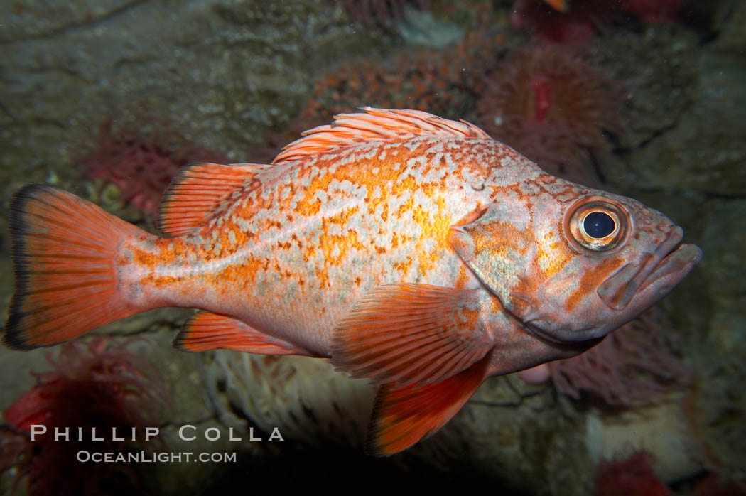 Vermillion rockfish., Sebastes miniatus, natural history stock photograph, photo id 11858