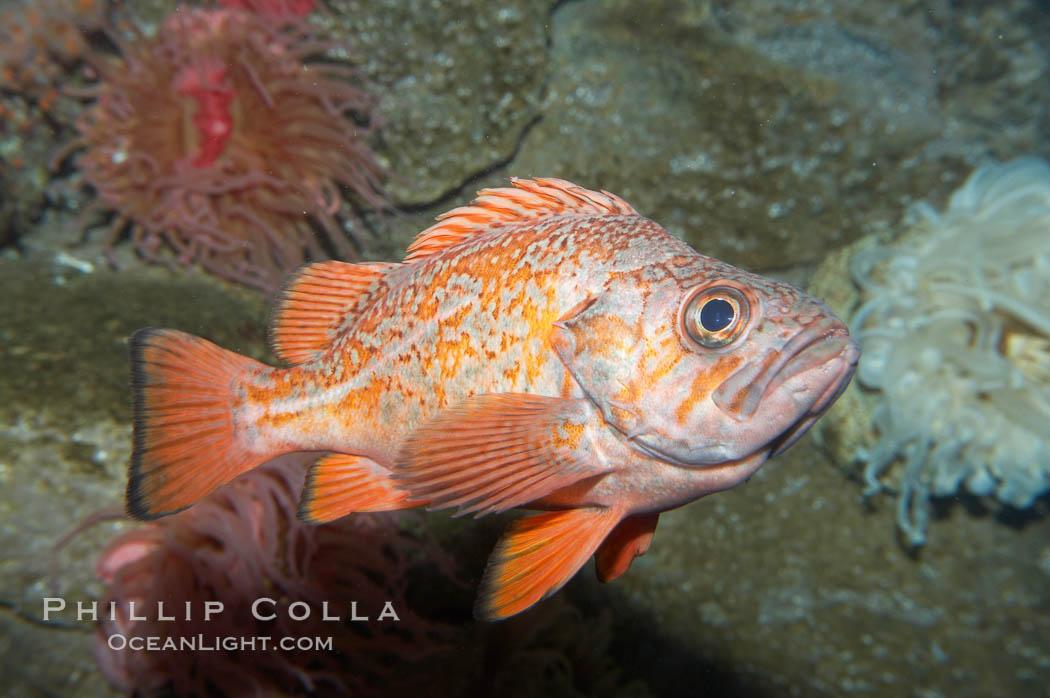Vermillion rockfish., Sebastes miniatus, natural history stock photograph, photo id 11855