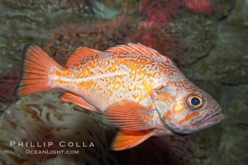 Vermillion rockfish., Sebastes miniatus, natural history stock photograph, photo id 11861