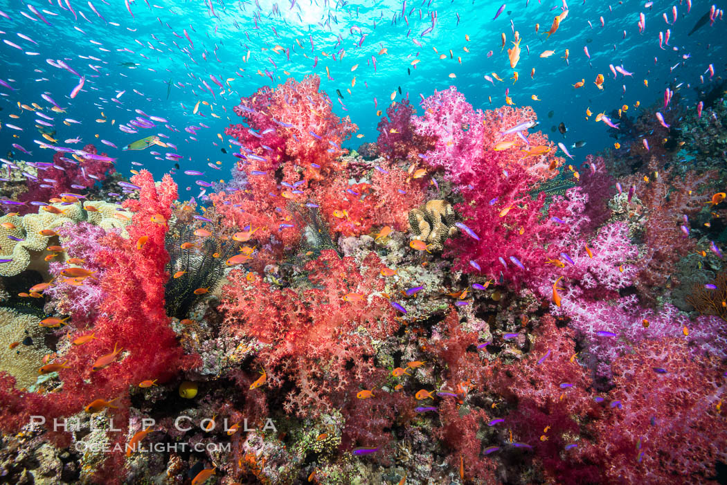 Dendronephthya soft corals and schooling Anthias fishes, feeding on plankton in strong ocean currents over a pristine coral reef. Fiji is known as the soft coral capitlal of the world. Gau Island, Lomaiviti Archipelago, Dendronephthya, Pseudanthias, natural history stock photograph, photo id 31378