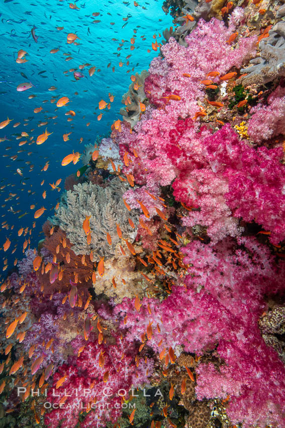Image 34994, Dendronephthya soft corals and schooling Anthias fishes, feeding on plankton in strong ocean currents over a pristine coral reef. Fiji is known as the soft coral capitlal of the world. Fiji, Dendronephthya, Pseudanthias, Phillip Colla, all rights reserved worldwide. Keywords: alcyonacea, animal, animalia, anthozoa, bligh waters, carnation coral, cnidaria, coral, coral reef, dendronephthya, fiji, fiji islands, fijian islands, island, marine, marine invertebrate, nature, nephtheidae, ocean, oceania, pacific, pacific ocean, reef, soft coral, south pacific, tree coral, tropical, underwater, vatu i ra, vatu i ra passage, viti levu.