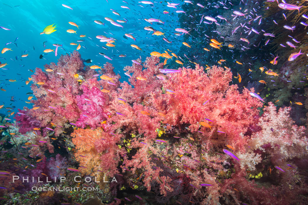 Dendronephthya soft corals and schooling Anthias fishes, feeding on plankton in strong ocean currents over a pristine coral reef. Fiji is known as the soft coral capitlal of the world. Namena Marine Reserve, Namena Island, Fiji, Dendronephthya, Pseudanthias, natural history stock photograph, photo id 31400