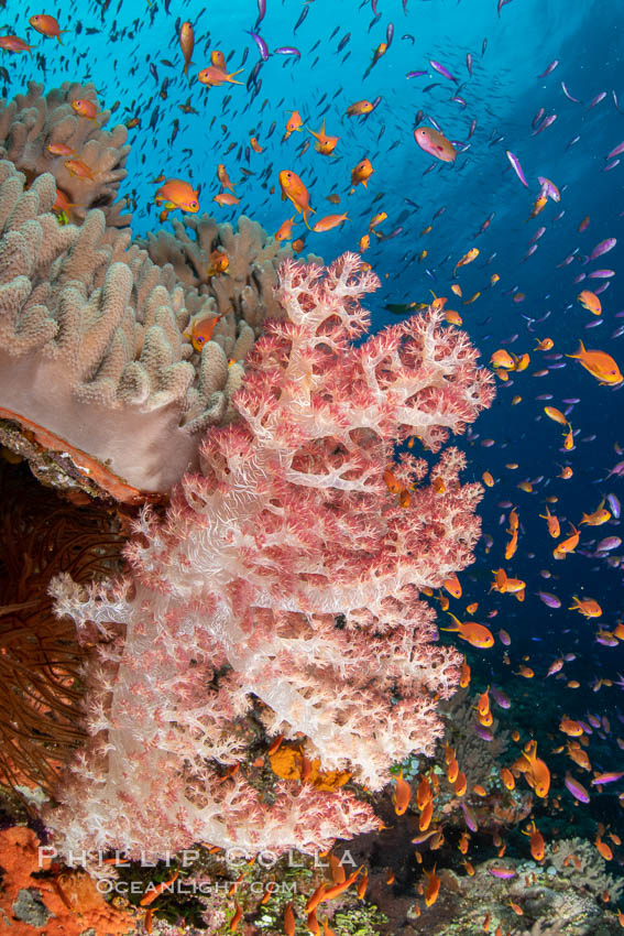 Dendronephthya soft corals and schooling Anthias fishes, feeding on plankton in strong ocean currents over a pristine coral reef. Fiji is known as the soft coral capitlal of the world., Dendronephthya, Pseudanthias, natural history stock photograph, photo id 34856