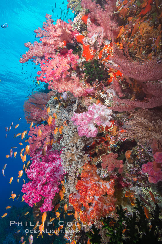 Dendronephthya soft corals and schooling Anthias fishes, feeding on plankton in strong ocean currents over a pristine coral reef. Fiji is known as the soft coral capitlal of the world. Vatu I Ra Passage, Bligh Waters, Viti Levu  Island, Dendronephthya, Pseudanthias, natural history stock photograph, photo id 31667