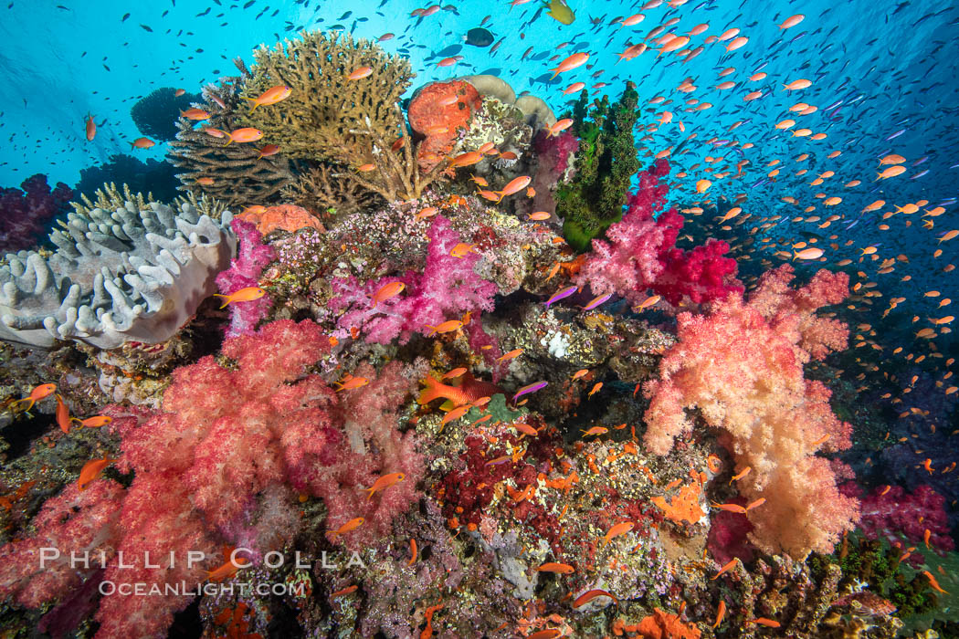 Dendronephthya soft corals and schooling Anthias fishes, feeding on plankton in strong ocean currents over a pristine coral reef. Fiji is known as the soft coral capitlal of the world., Dendronephthya, Pseudanthias, natural history stock photograph, photo id 34823