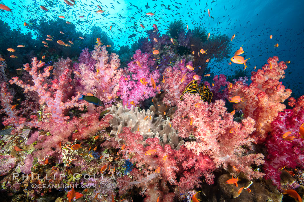 Dendronephthya soft corals and schooling Anthias fishes, feeding on plankton in strong ocean currents over a pristine coral reef. Fiji is known as the soft coral capitlal of the world. Fiji, Dendronephthya, Pseudanthias, natural history stock photograph, photo id 34875
