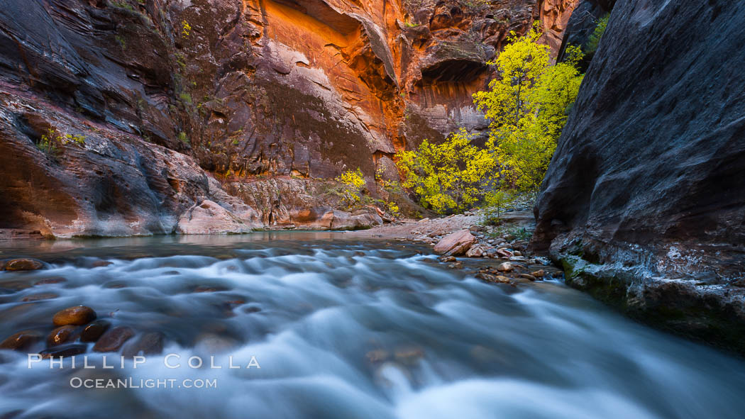 Virgin River narrows and fall colors, cottonwood trees in autumn along the Virgin River with towering sandstone cliffs. Virgin River Narrows, Zion National Park, Utah, USA, natural history stock photograph, photo id 26108