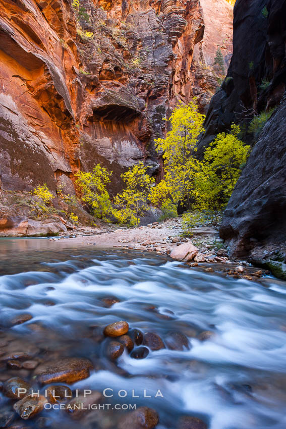 Virgin River narrows and fall colors, cottonwood trees in autumn along the Virgin River with towering sandstone cliffs. Virgin River Narrows, Zion National Park, Utah, USA, natural history stock photograph, photo id 26132