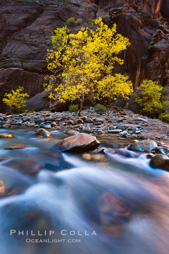 Flowing water and fall cottonwood trees, along the Virgin River in the Zion Narrows in autumn. Virgin River Narrows, Zion National Park, Utah, USA, natural history stock photograph, photo id 26107