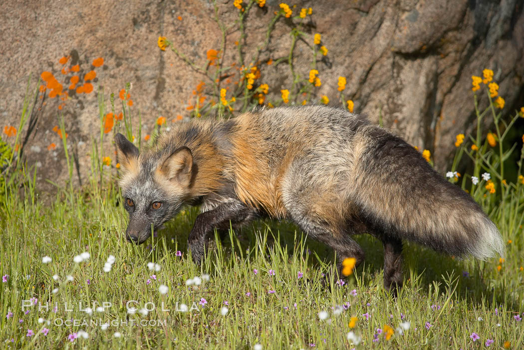 Cross fox, Sierra Nevada foothills, Mariposa, California.  The cross fox is a color variation of the red fox., Vulpes vulpes, natural history stock photograph, photo id 15956