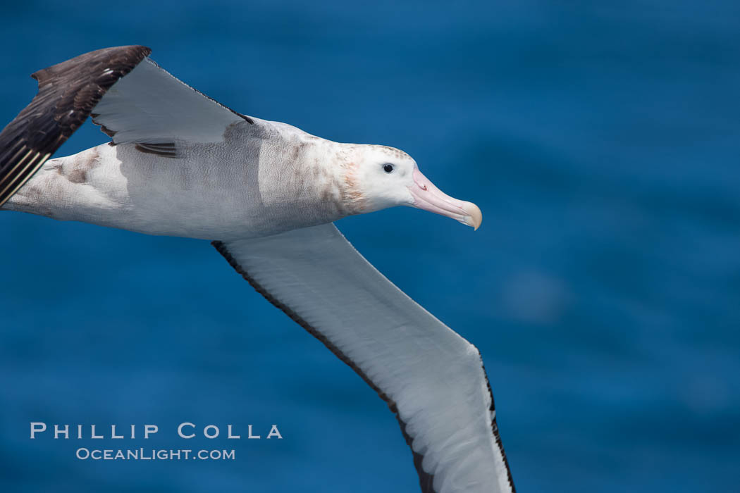 Wandering albatross in flight, over the open sea.  The wandering albatross has the largest wingspan of any living bird, with the wingspan between, up to 12' from wingtip to wingtip.  It can soar on the open ocean for hours at a time, riding the updrafts from individual swells, with a glide ratio of 22 units of distance for every unit of drop.  The wandering albatross can live up to 23 years.  They hunt at night on the open ocean for cephalopods, small fish, and crustaceans. The survival of the species is at risk due to mortality from long-line fishing gear. Southern Ocean, Diomedea exulans, natural history stock photograph, photo id 24070