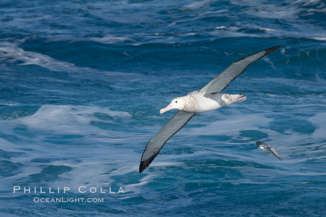 Wandering albatross in flight, over the open sea.  The wandering albatross has the largest wingspan of any living bird, with the wingspan between, up to 12' from wingtip to wingtip.  It can soar on the open ocean for hours at a time, riding the updrafts from individual swells, with a glide ratio of 22 units of distance for every unit of drop.  The wandering albatross can live up to 23 years.  They hunt at night on the open ocean for cephalopods, small fish, and crustaceans. The survival of the species is at risk due to mortality from long-line fishing gear. Southern Ocean, Diomedea exulans, natural history stock photograph, photo id 24090