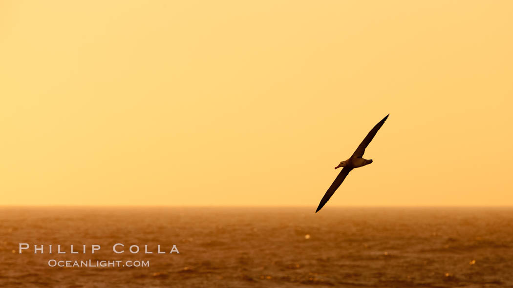 Wandering albatross in flight, over the open sea.  The wandering albatross has the largest wingspan of any living bird, with the wingspan between, up to 12' from wingtip to wingtip.  It can soar on the open ocean for hours at a time, riding the updrafts from individual swells, with a glide ratio of 22 units of distance for every unit of drop.  The wandering albatross can live up to 23 years.  They hunt at night on the open ocean for cephalopods, small fish, and crustaceans. The survival of the species is at risk due to mortality from long-line fishing gear. Southern Ocean, Diomedea exulans, natural history stock photograph, photo id 24092