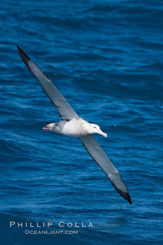 Wandering albatross in flight, over the open sea.  The wandering albatross has the largest wingspan of any living bird, with the wingspan between, up to 12' from wingtip to wingtip.  It can soar on the open ocean for hours at a time, riding the updrafts from individual swells, with a glide ratio of 22 units of distance for every unit of drop.  The wandering albatross can live up to 23 years.  They hunt at night on the open ocean for cephalopods, small fish, and crustaceans. The survival of the species is at risk due to mortality from long-line fishing gear. Southern Ocean, Diomedea exulans, natural history stock photograph, photo id 24169