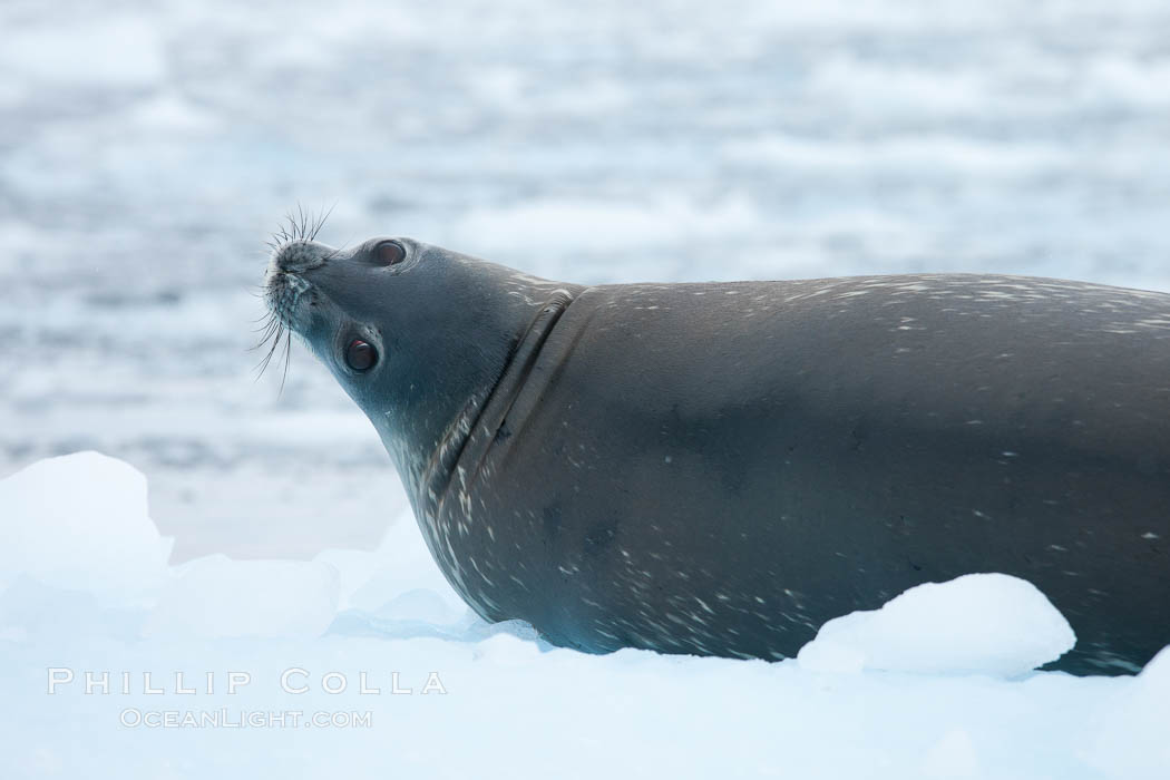 Weddell seal in Antarctica.  The Weddell seal reaches sizes of 3m and 600 kg, and feeds on a variety of fish, krill, squid, cephalopods, crustaceans and penguins. Cierva Cove, Antarctic Peninsula, Antarctica, Leptonychotes weddellii, natural history stock photograph, photo id 25522