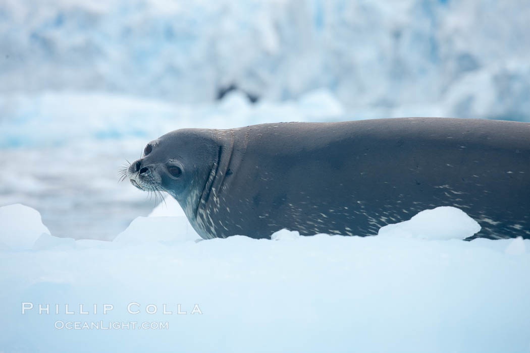 Image 25570, Weddell seal in Antarctica.  The Weddell seal reaches sizes of 3m and 600 kg, and feeds on a variety of fish, krill, squid, cephalopods, crustaceans and penguins. Cierva Cove, Antarctic Peninsula, Antarctica, Leptonychotes weddellii
