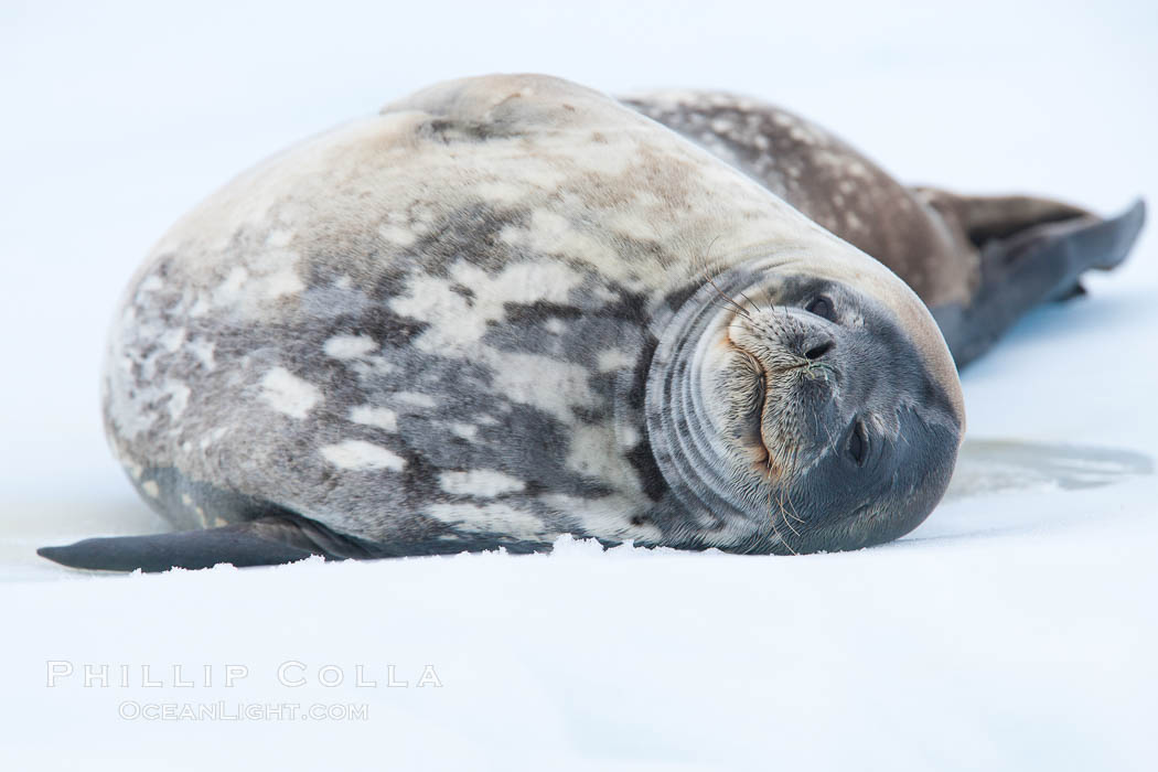 Weddell seal in Antarctica.  The Weddell seal reaches sizes of 3m and 600 kg, and feeds on a variety of fish, krill, squid, cephalopods, crustaceans and penguins. Neko Harbor, Antarctic Peninsula, Antarctica, Leptonychotes weddellii, natural history stock photograph, photo id 25692