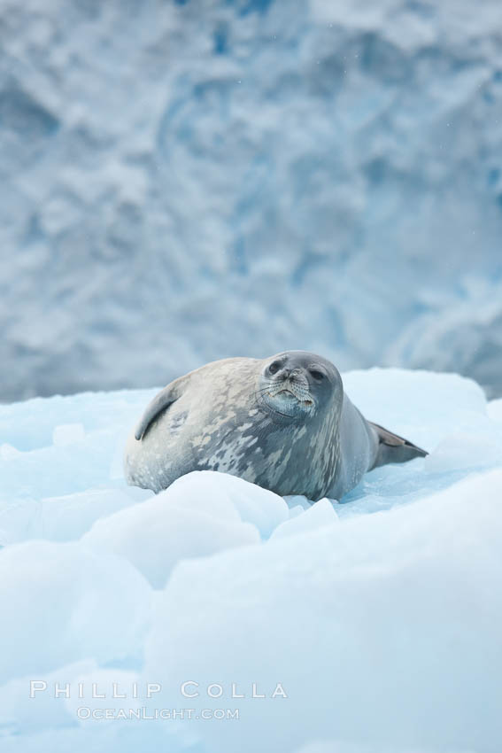 Weddell seal in Antarctica.  The Weddell seal reaches sizes of 3m and 600 kg, and feeds on a variety of fish, krill, squid, cephalopods, crustaceans and penguins. Cierva Cove, Antarctic Peninsula, Leptonychotes weddellii, natural history stock photograph, photo id 25521
