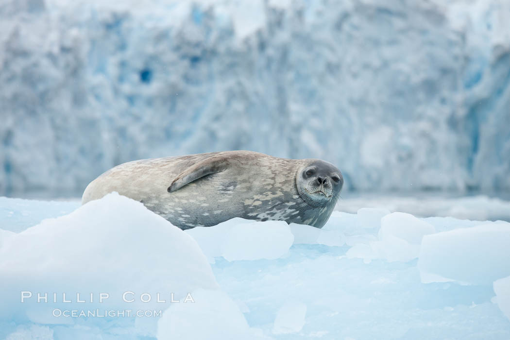 Weddell seal in Antarctica.  The Weddell seal reaches sizes of 3m and 600 kg, and feeds on a variety of fish, krill, squid, cephalopods, crustaceans and penguins. Cierva Cove, Antarctic Peninsula, Leptonychotes weddellii, natural history stock photograph, photo id 25569