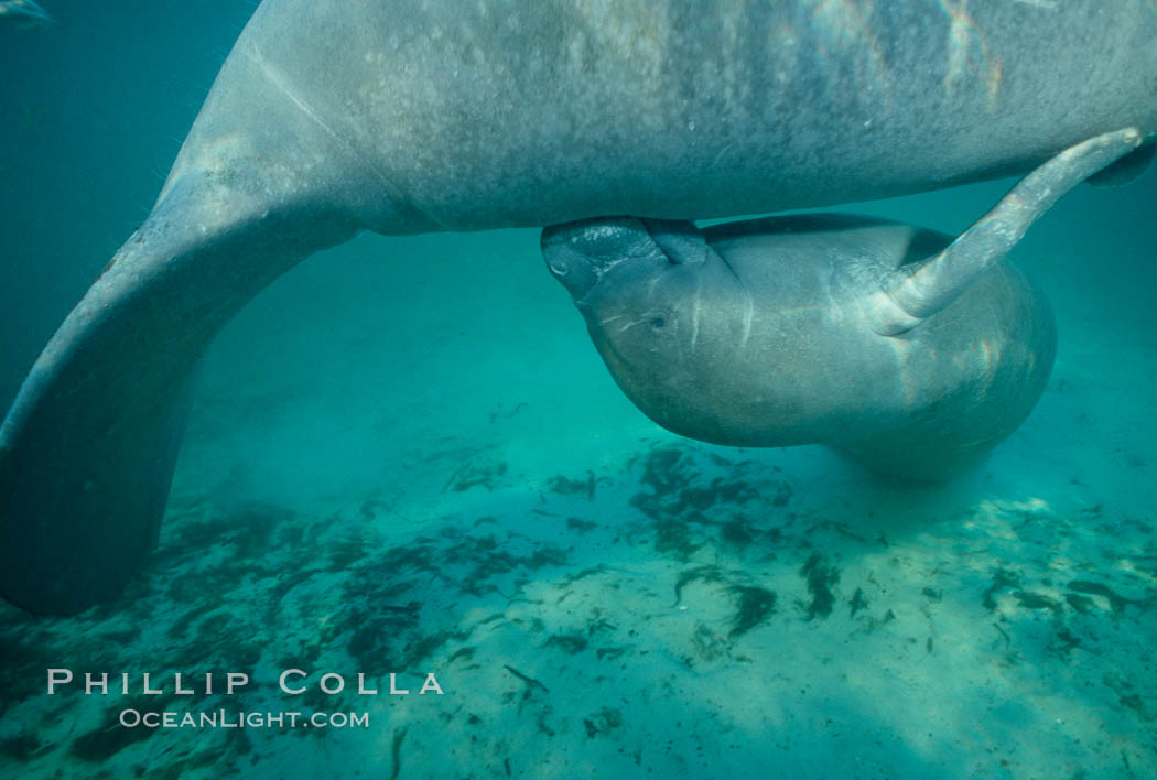 West Indian manatee, socializing/play. Three Sisters Springs, Crystal River, Florida, USA, Trichechus manatus, natural history stock photograph, photo id 02646