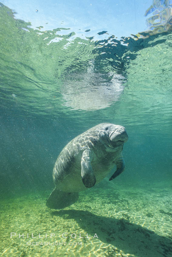 West Indian manatee at Three Sisters Springs, Florida. Crystal River, USA, Trichechus manatus, natural history stock photograph, photo id 02612
