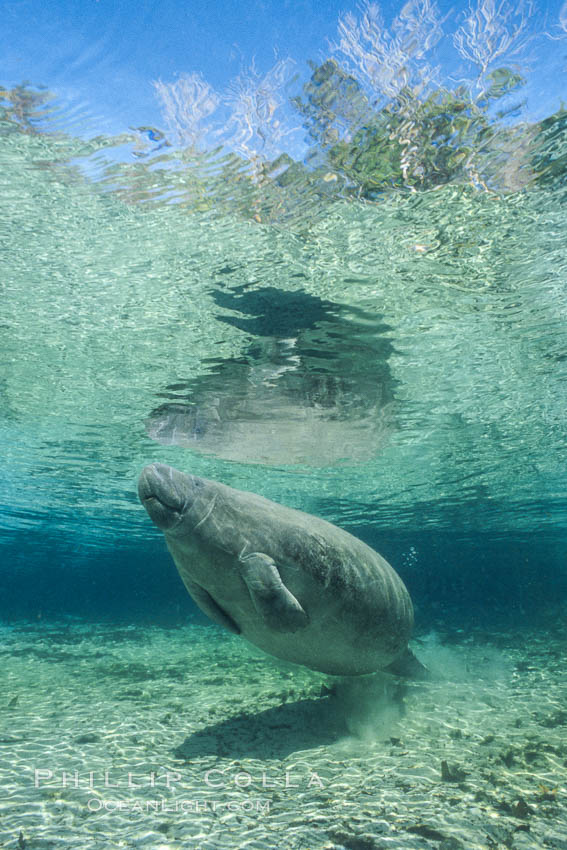 Image 02616, West Indian manatee at Three Sisters Springs, Florida. Crystal River, USA, Trichechus manatus, Phillip Colla, all rights reserved worldwide. Keywords: american manatee, animal, caribbean manatee, common manatee, crystal river, endangered, endangered threatened species, florida, florida manatee, lamantin d'am�rique du nord, lamantin des antilles, lamantin des cara�bes, lamantino norteamericana, mammal, manatee, manat� norteamericano, marine, marine mammal, north american manatee, ocean, sirenian, spring river, three sisters springs, trichechus manatus, underwater, usa, west indian manatee, wildlife.