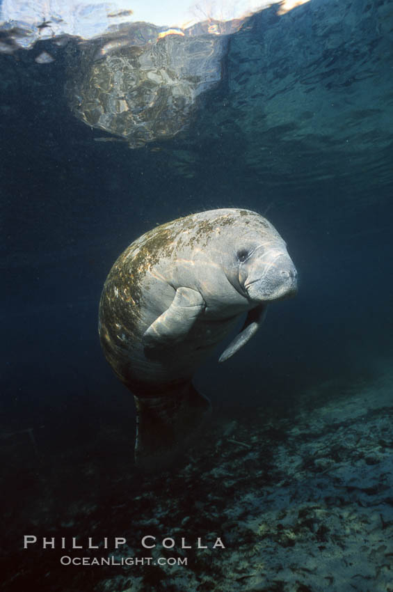Image 02728, West Indian manatee. Three Sisters Springs, Crystal River, Florida, USA, Trichechus manatus, Phillip Colla, all rights reserved worldwide. Keywords: american manatee, animal, caribbean manatee, common manatee, crystal river, endangered, endangered threatened species, florida, florida manatee, lamantin d'am�rique du nord, lamantin des antilles, lamantin des cara�bes, lamantino norteamericana, mammal, manatee, manat� norteamericano, marine, marine mammal, north american manatee, ocean, sirenian, spring river, three sisters springs, trichechus manatus, underwater, usa, west indian manatee, wildlife.