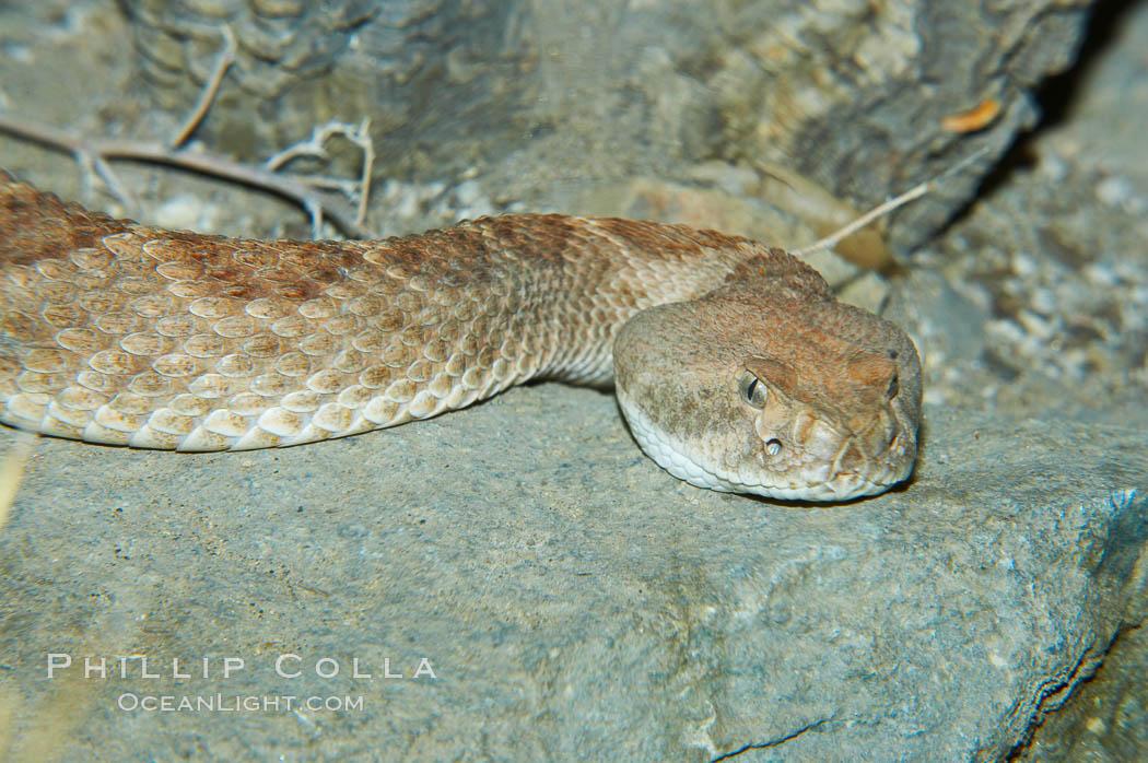 Western diamondback rattlesnake., Crotalus atrox, natural history stock photograph, photo id 12600