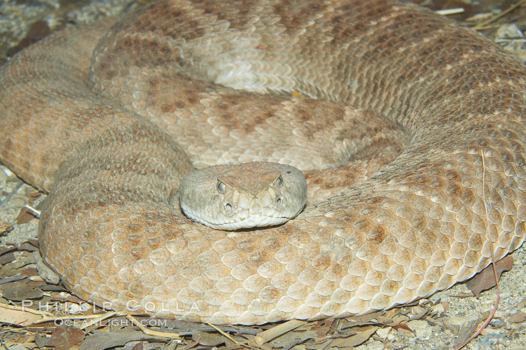 Western diamondback rattlesnake., Crotalus atrox, natural history stock photograph, photo id 12812