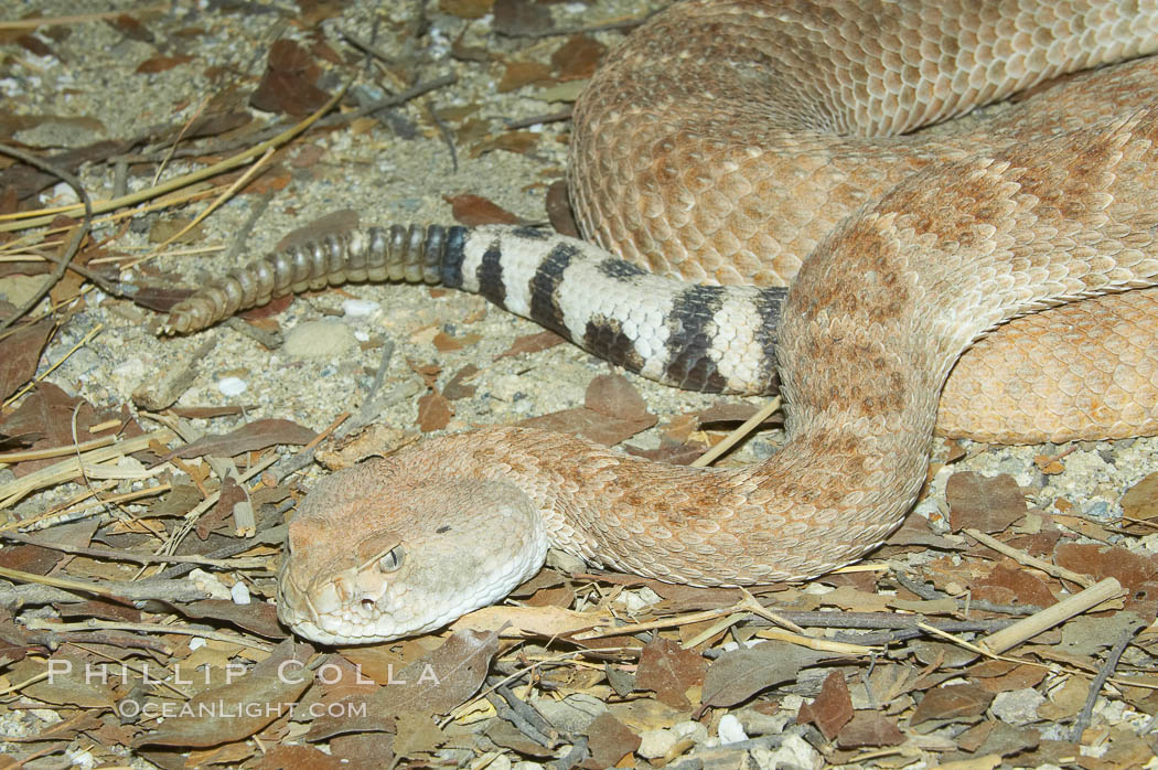 Image 12819, Western diamondback rattlesnake., Crotalus atrox, Phillip Colla, all rights reserved worldwide. Keywords: animal, creature, crotalus atrox, nature, rattlesnake, reptile, snake, western diamondback rattlesnake, wildlife, zoo.