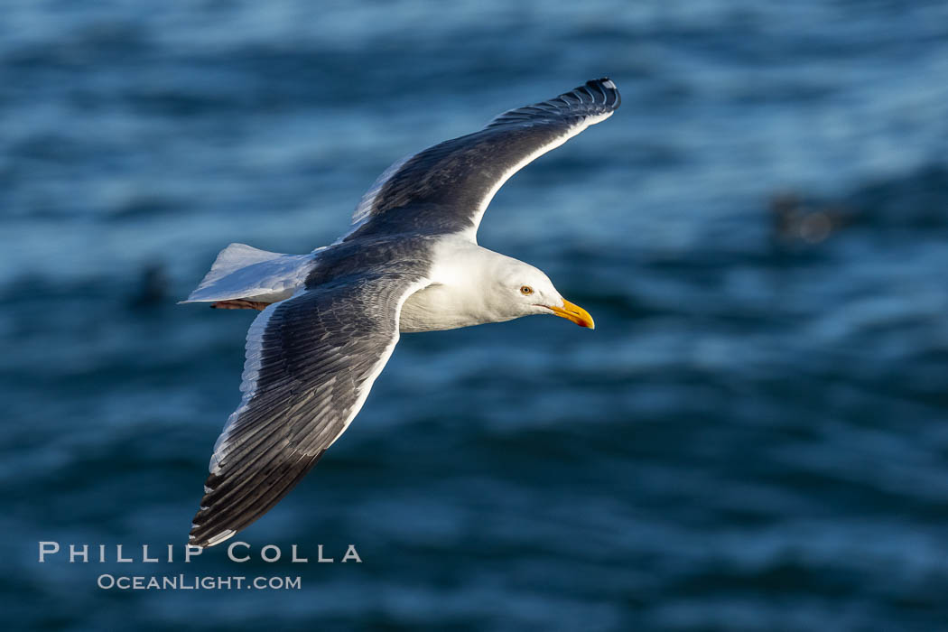 Western Gull in Flight, La Jolla. California, USA, Larus occidentalis, natural history stock photograph, photo id 36834
