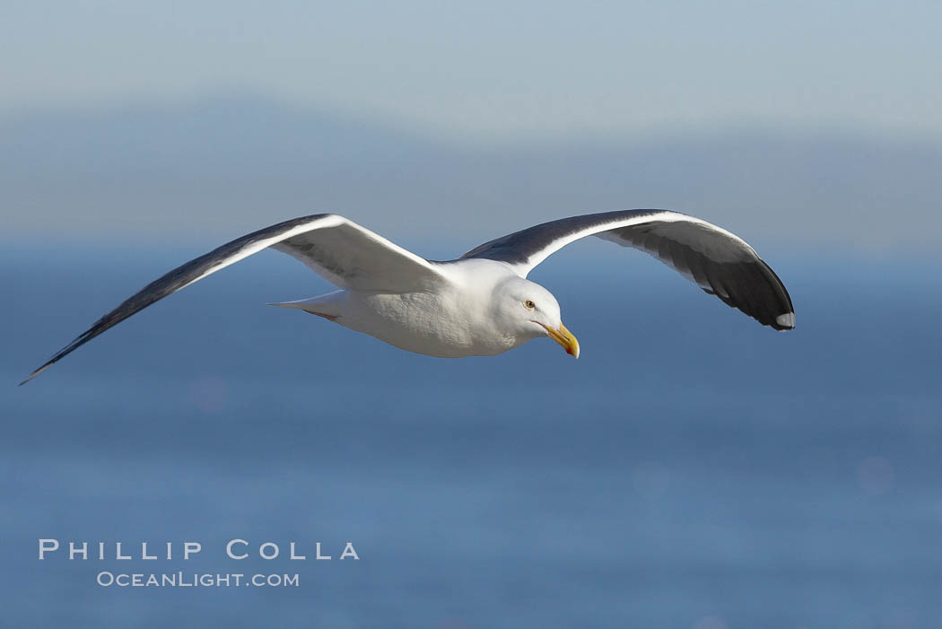 Western gull, flying. La Jolla, California, USA, Larus occidentalis, natural history stock photograph, photo id 20062