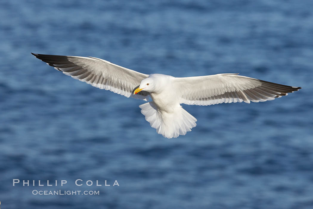 Western gull, flying. La Jolla, California, USA, Larus occidentalis, natural history stock photograph, photo id 20061
