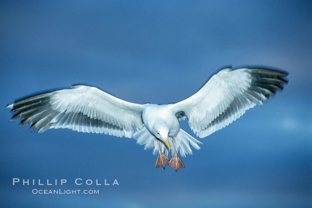 Western gull., Larus occidentalis, natural history stock photograph, photo id 03766