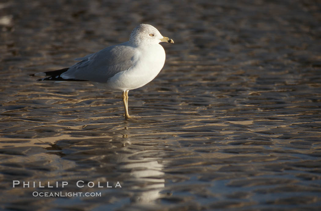 Western gull. Del Mar, California, USA, Larus occidentalis, natural history stock photograph, photo id 05742