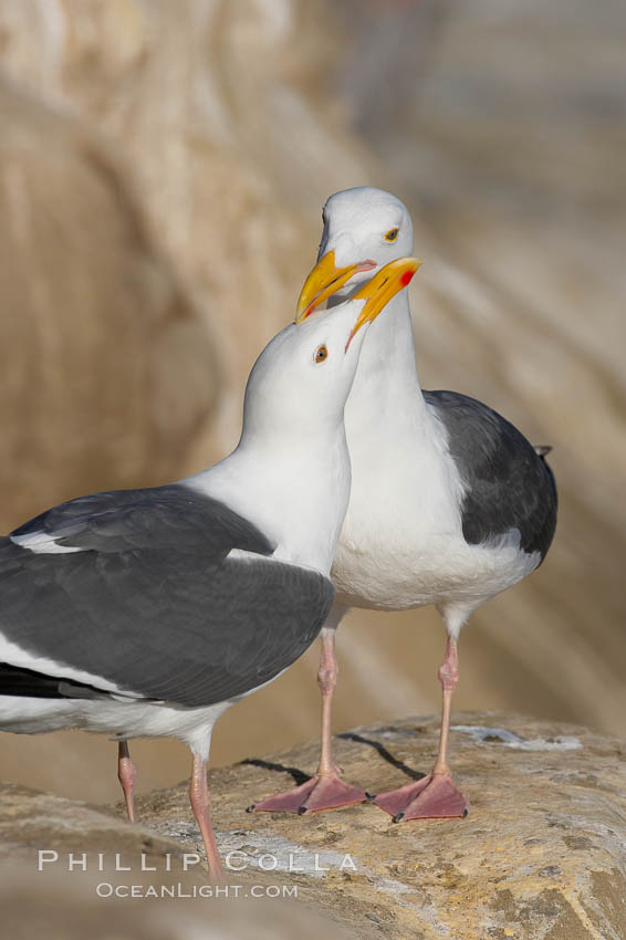 Western gull, courtship display. La Jolla, California, USA, Larus occidentalis, natural history stock photograph, photo id 15562