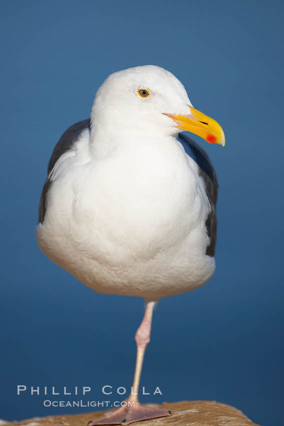 Western gull, adult breeding. La Jolla, California, USA, Larus occidentalis, natural history stock photograph, photo id 18226
