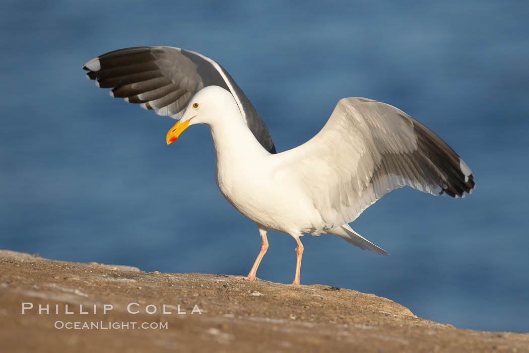 Western gull. La Jolla, California, USA, Larus occidentalis, natural history stock photograph, photo id 15558