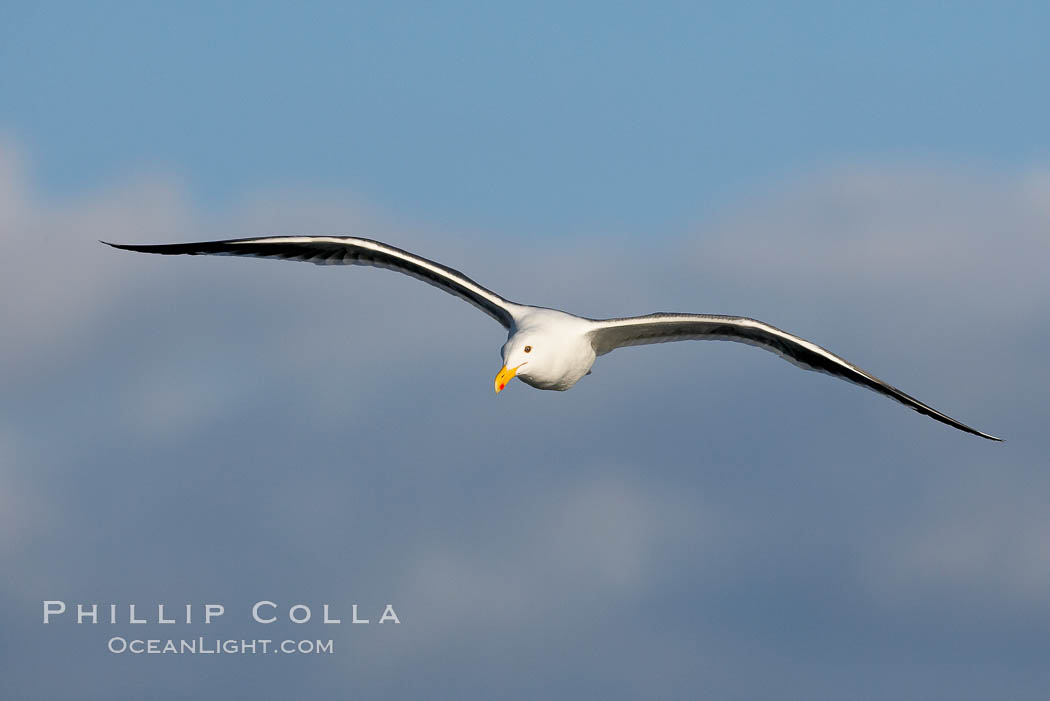 Western gull, flying. La Jolla, California, USA, Larus occidentalis, natural history stock photograph, photo id 15552