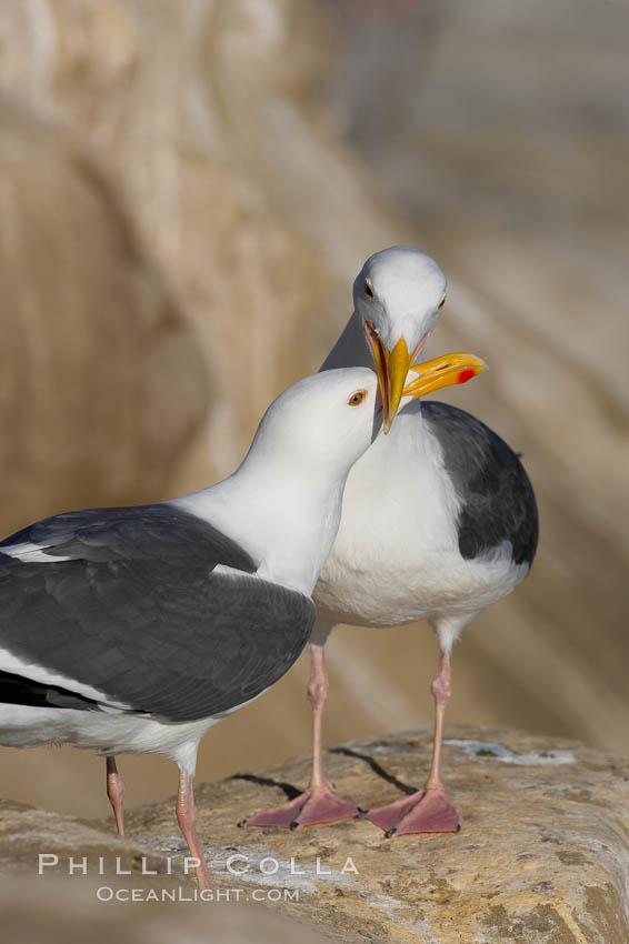 Western gull, courtship display. La Jolla, California, USA, Larus occidentalis, natural history stock photograph, photo id 15556