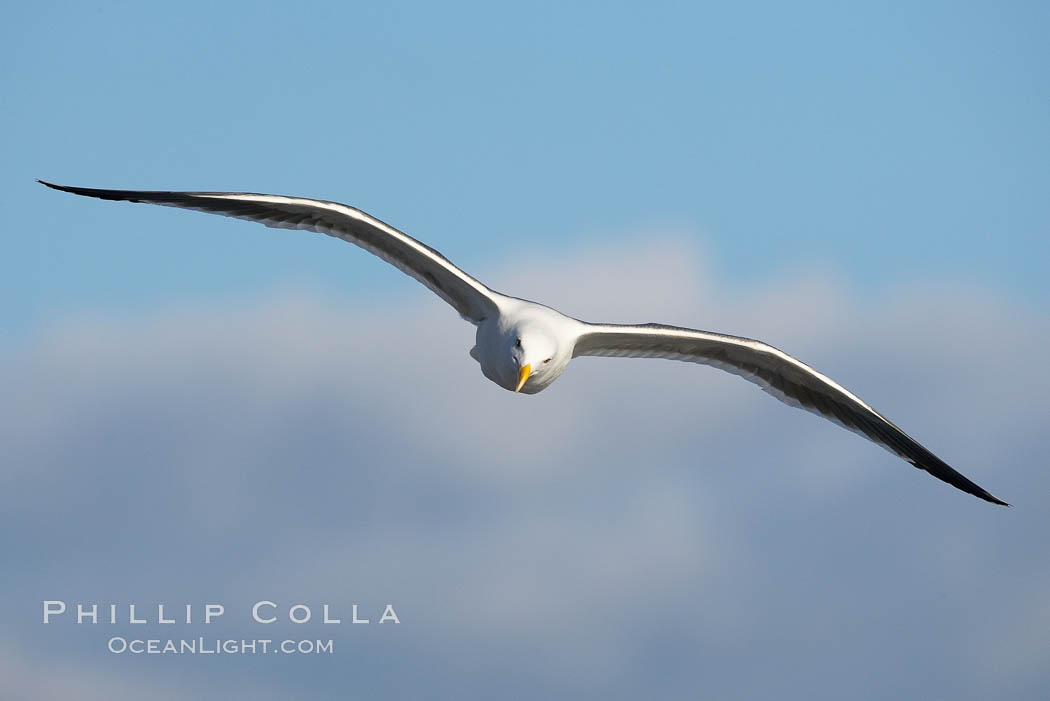 Western gull, flying. La Jolla, California, USA, Larus occidentalis, natural history stock photograph, photo id 15559