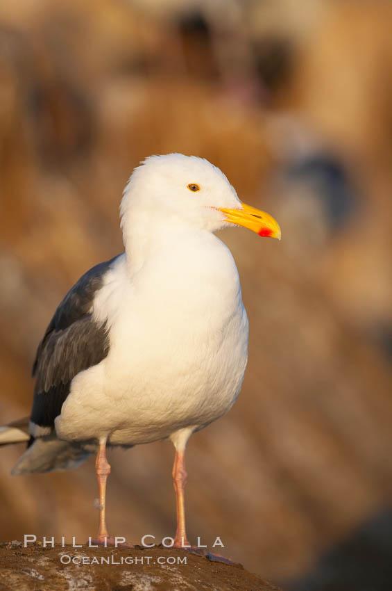 Western gull. La Jolla, California, USA, Larus occidentalis, natural history stock photograph, photo id 15557