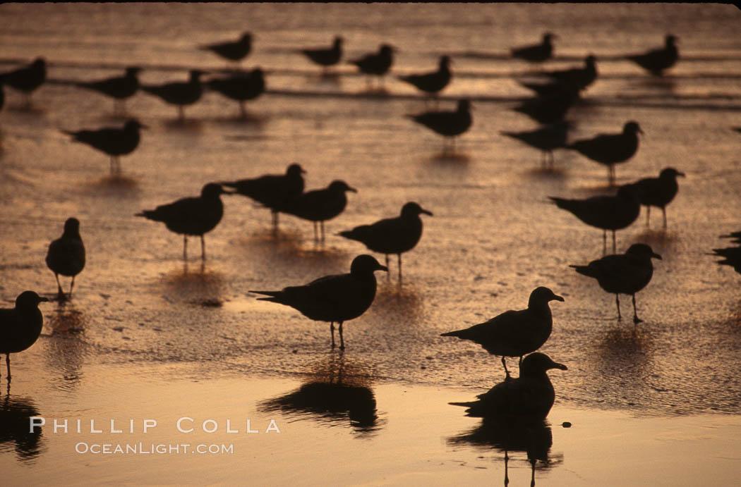 Image 05748, Western and Heermanns gulls. Del Mar, California, USA, Larus occidentalis, Larus heermanni